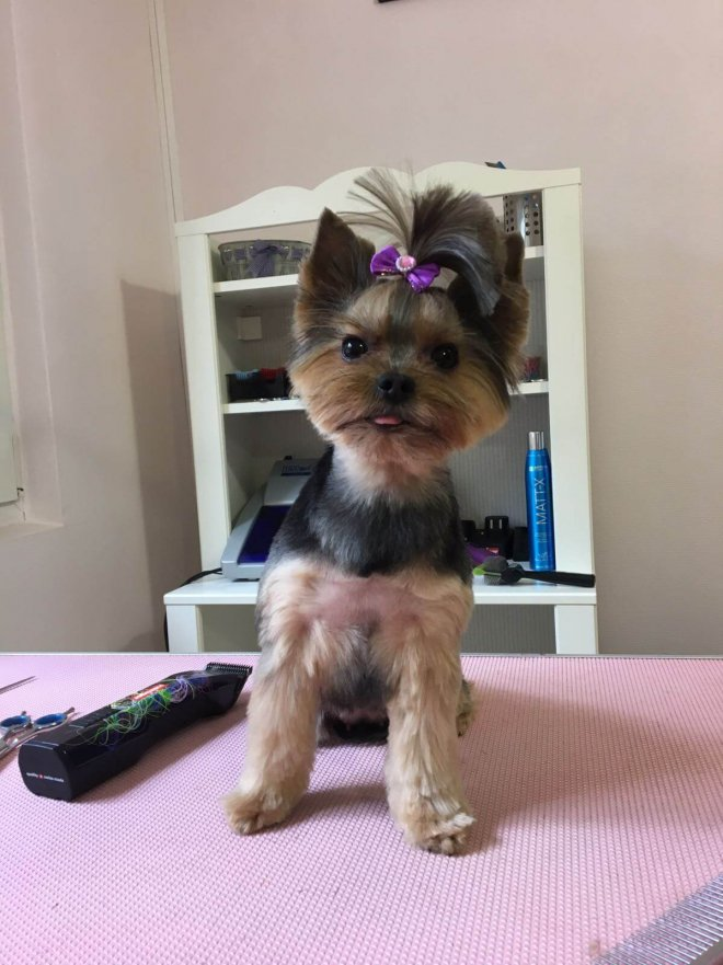 Yorkie cosmetizat la salonul canin AlphaPet