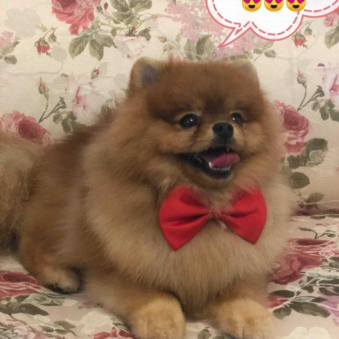 Pomeranian cu frizura realizata la salonul canin AlphaPet