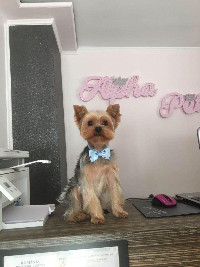 Yorkie mic la salonul de cosmetica canina